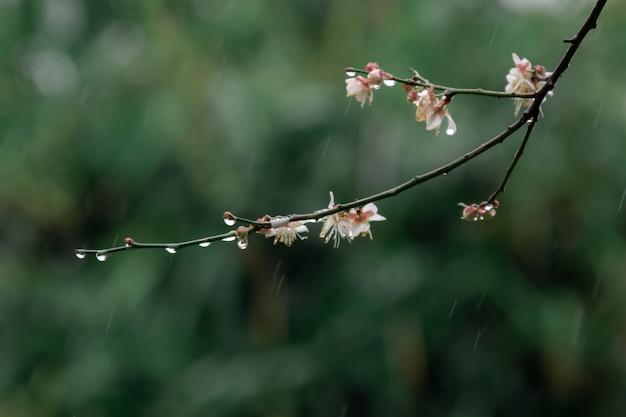 Fiori di prugna bianchi su sfondo verde sotto la pioggia