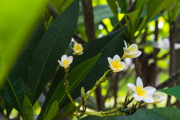Fiore bianco di plumeria che fiorisce all'aperto, fiore di bali, fiori di plumeria rubra.