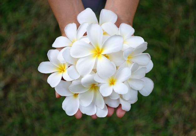 Fiore bianco di plumeria o frangipane in mano Foto Premium