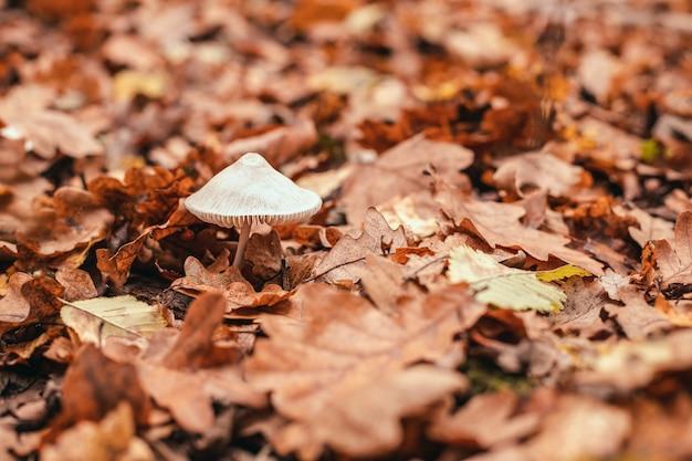 Il fungo velenoso e pericoloso bianco con un berretto grigio cresce sotto le foglie gialle cadute nella foresta d'autunno.