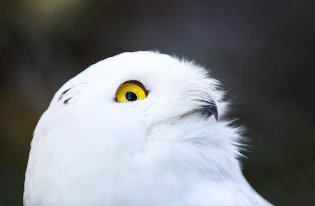 Gufo polare bianco