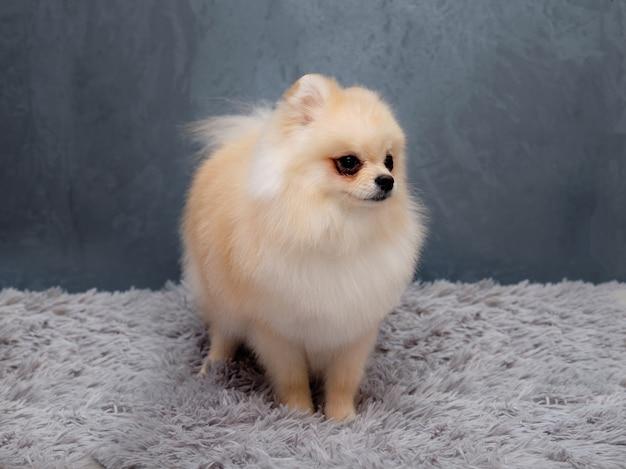 Pomerania bianco dopo la toelettatura mostra il suo taglio di capelli.
