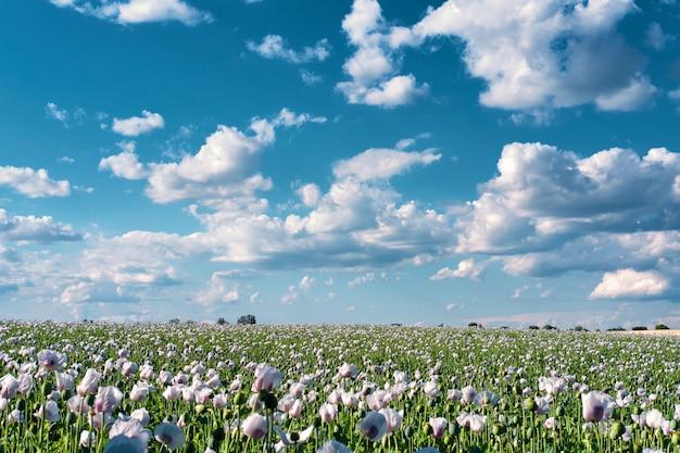 Fiori di papavero bianco sul campo sotto il cielo blu con nuvole