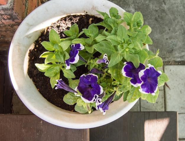 Un vaso bianco con petunia viola si trova sulla veranda aperta vista dall'alto in una giornata estiva