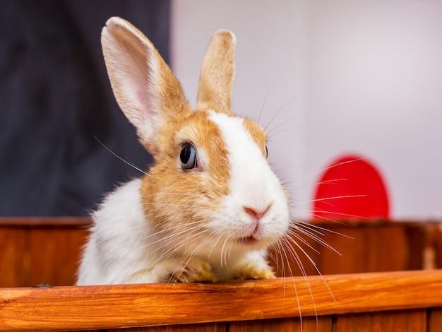 Il coniglio bianco con macchie arancioni guarda fuori dalla gabbia