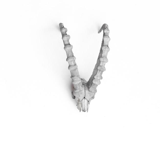 Corna di montone bianche isolate su sfondo bianco