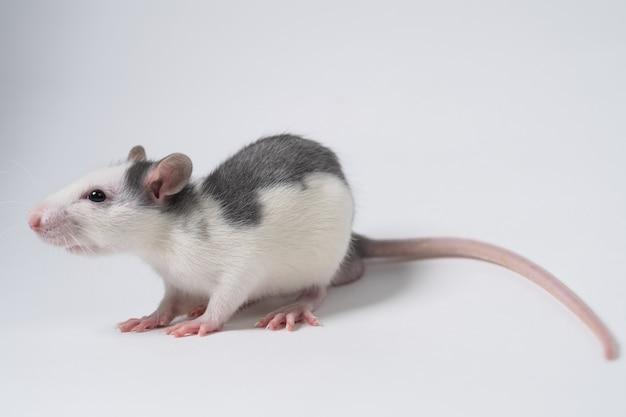Ratto bianco con dorso grigio isolato su sfondo bianco. animale sperimentale. sperimentazione di farmaci e cosmetici su ratti e topi. avvicinamento.