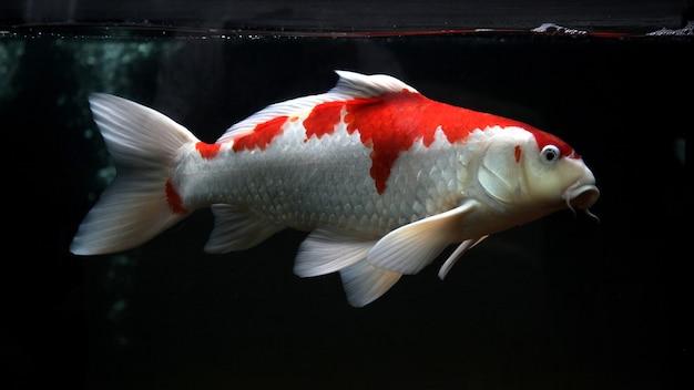 Pesce koi rosso bianco isolato su sfondo nero