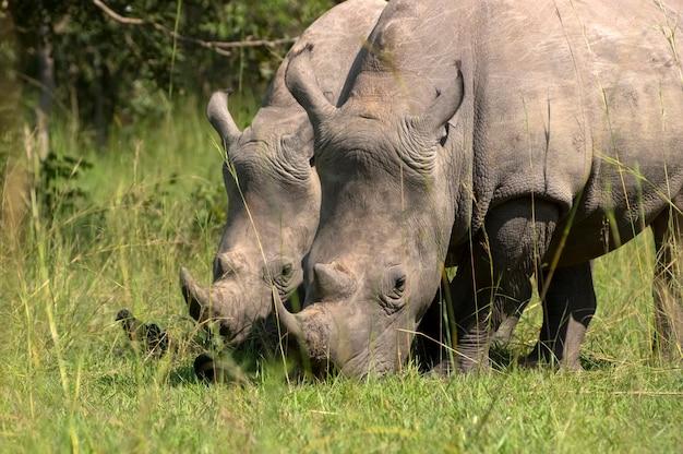 Rinoceronte bianco. santuario dei rinoceronti di ziwa. uganda. africa