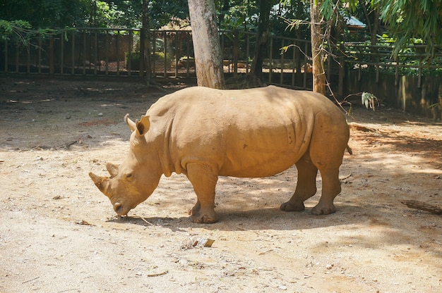 Rinoceronte bianco (ceratotherium simum)