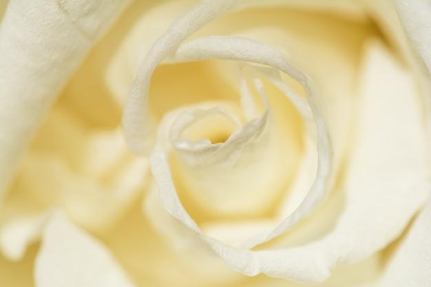 Fiore di rosa bianca, primo piano