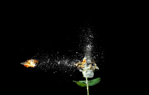 Rosa bianca isolata su sfondo nero. fiore che brucia nel fuoco. proiettile dalla pistola. immagine d'arte.