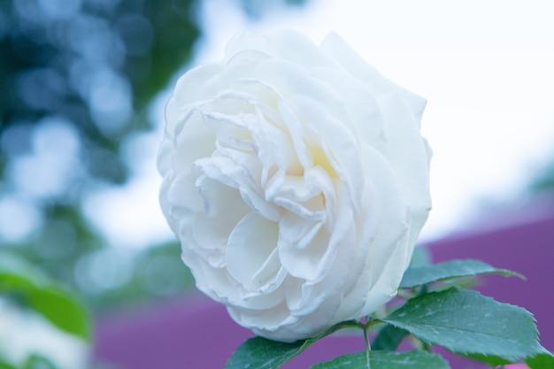 Rosa bianca nel parco