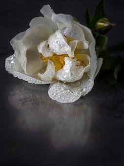 Fiore bianco del cinorrodo su una foto a macroistruzione del fondo scuro. copia spazio.