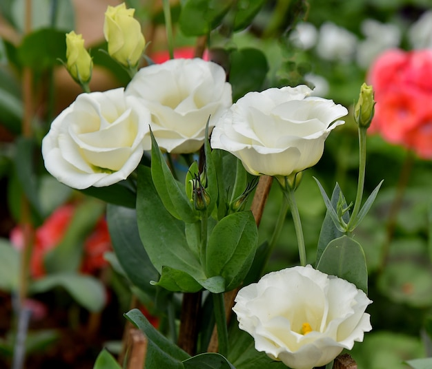 Rose bianche in giardino su sfocatura dello sfondo della natura