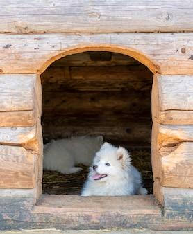 Cucciolo di husky samoiedo bianco. cani amichevoli con pelo soffice.