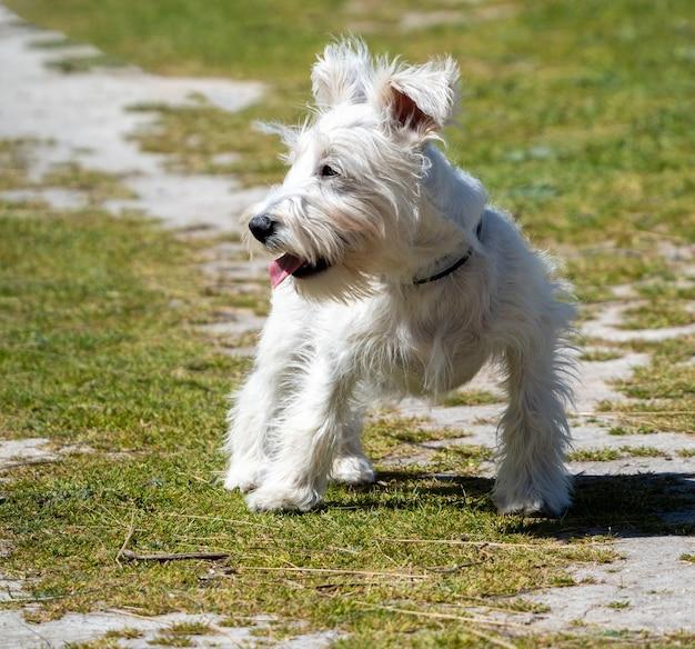 Cucciolo di schnauzer bianco in attesa del suo padrone sul campo