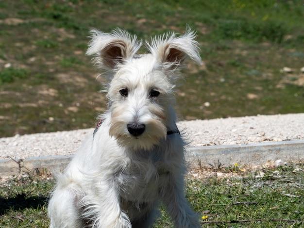 Il cucciolo di schnauzer bianco aspetta pazientemente che arrivi il suo proprietario.