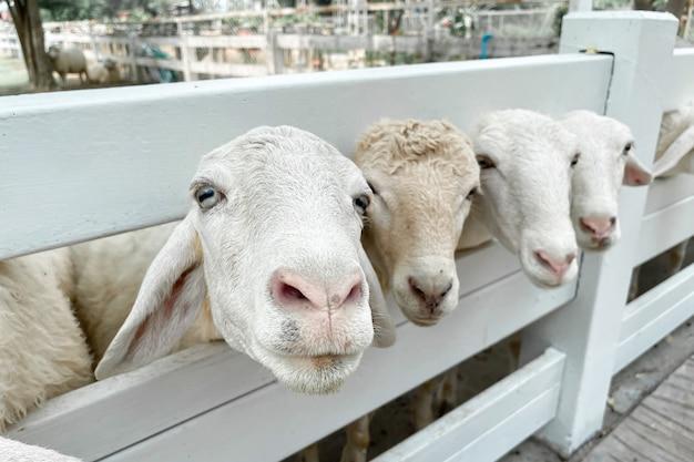 Folla di pecore bianche nella fattoria classica, thailandia.