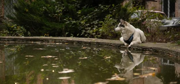 White siberian husky in dog-walking schleia che guarda lontano mentre posa il mirroring nell'acqua della fontana