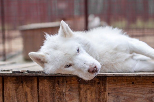 Un husky siberiano bianco si trova su una casa di legno. il cane sta mentendo, annoiato