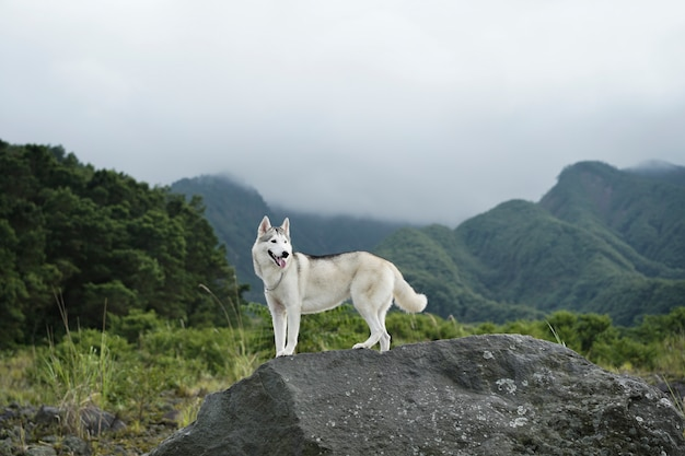 Siberian husky bianco