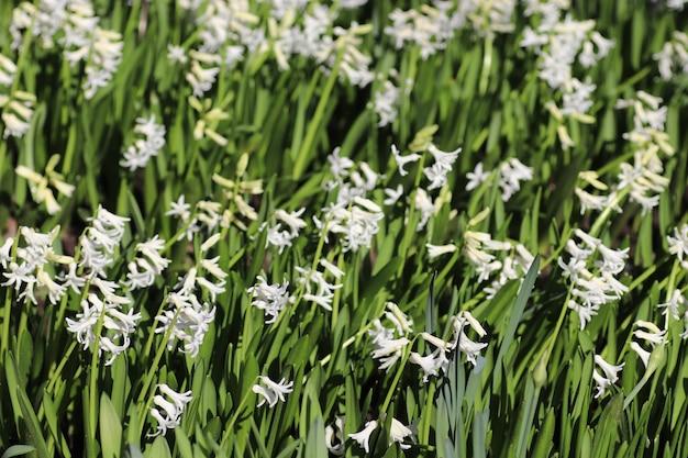 Piccoli fiori bianchi foglie grandi verdi e fiori bianchi