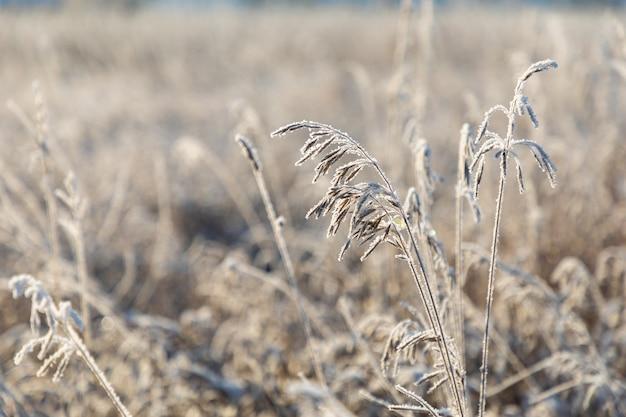 Bianco scintillante gelo di ghiaccio adorna i rami di erba secca in inverno durante l'alba in siberia, russia