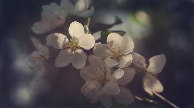 Fiori bianchi primaverili su un ramo di albero