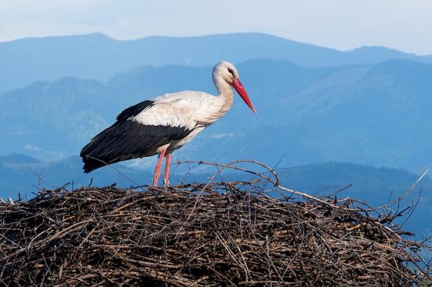 La cicogna bianca (ciconia ciconia) è un grande uccello della famiglia delle cicogne ciconiidae sul nido in primavera. sfondo di montagna blu