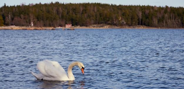 Cigno bianco sulla costa del mar baltico in finlandia.