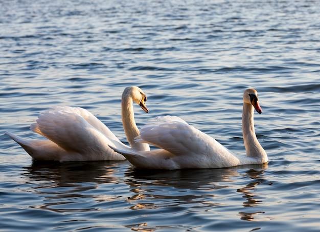 White swan coppia che galleggia sull'acqua, stagione primaverile per gli uccelli, fauna selvatica con uccelli acquatici durante la creazione di una coppia sposata