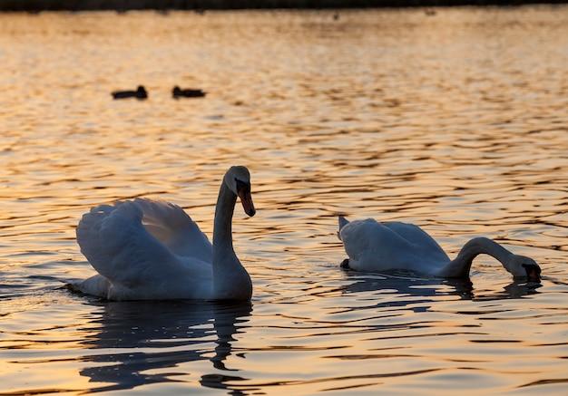 Coppia di cigni bianchi che galleggia sull'acqua, stagione primaverile per uccelli, fauna selvatica con uccelli acquatici durante la creazione di una coppia sposata