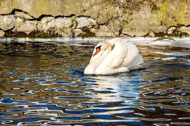 Cigno bianco sull'acqua scura, ghiaccio lontano, all'inizio della primavera