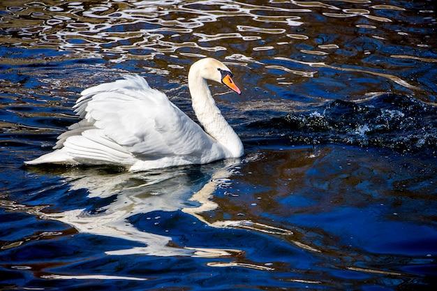 Cigno bianco sull'acqua scura, riflesso dell'uccello nell'acqua