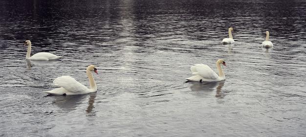 Famiglia del cigno bianco sulla costa del mar baltico in finlandia.