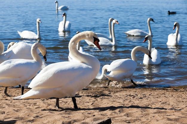 Cigno bianco che galleggia sul lago, bellissimi cigni uccelli acquatici in primavera, splendidi uccelli di grandi dimensioni, primo piano