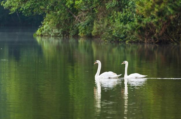 Il cigno bianco e il suo compagno stanno nuotando nel lago nel parco nazionale di pang ung della provincia di mae hong son, thailandia