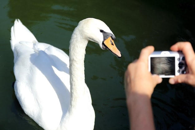 White swan in posa per le riprese del fotografo