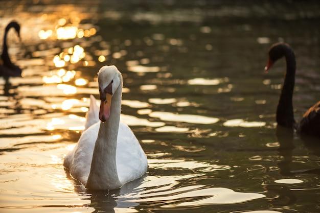 Cigno bianco che nuota sul lago al tramonto