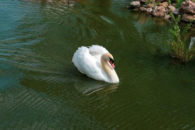 Il cigno bianco nuota nel primo piano del lago