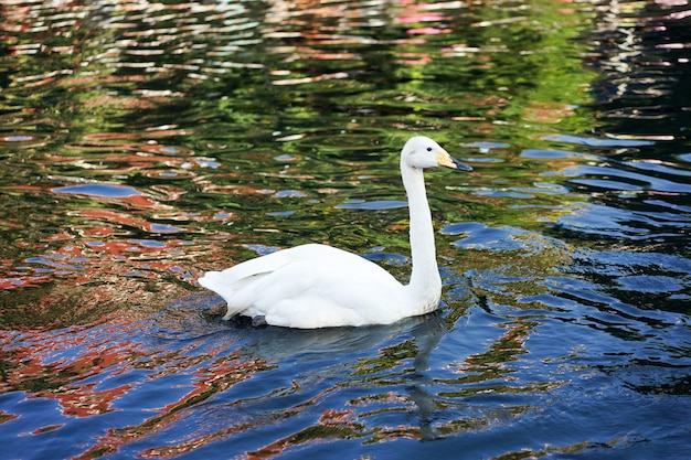 Il cigno bianco era felice di nuotare nel canale nero dell'onda di riflessione