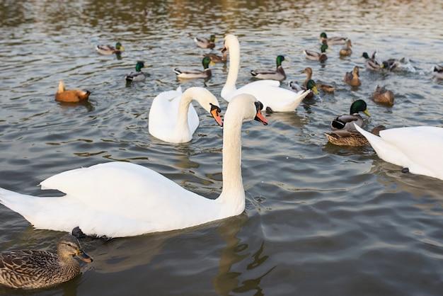 Cigni bianchi e papere sul lago