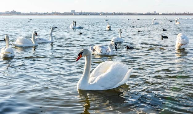 Cigni bianchi sul lago