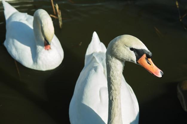 I cigni bianchi nuotano nel lago. copia spazio.