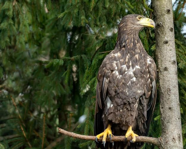 Aquila dalla coda bianca che si siede su un ramo di albero di natale