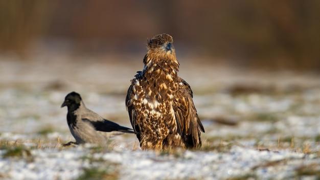 Aquila dalla coda bianca che si siede su un prato in inverno