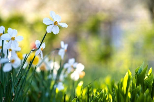 Fiori bianchi teneri del narciso che fioriscono nel giardino di primavera