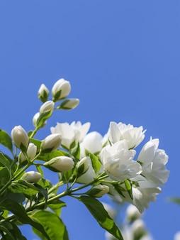 Fiori di gelsomino in spugna bianca in giardino contro il cielo blu