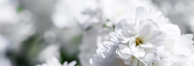 Fiori di gelsomino in spugna bianca in giardino